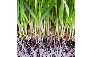 Кълнове от жито и лимец